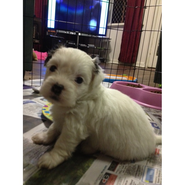 Stunning Maltese X Shih Tzu X Chihuahua Puppies Small Male Maltese
