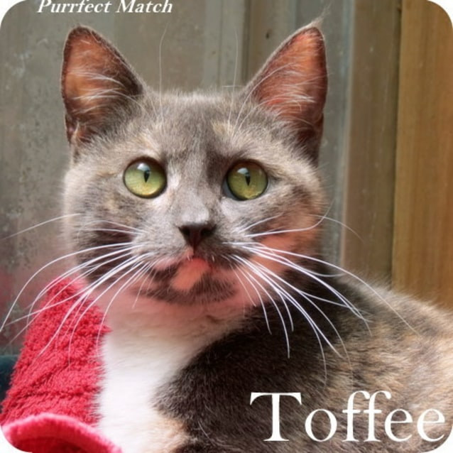 "Photo of ""Toffee""  Purrfect Match"