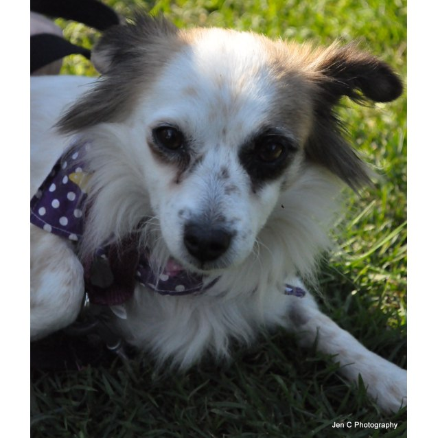 Bianca Small Female Long Hair Chihuahua X Mini Foxie Cross Mix Dog