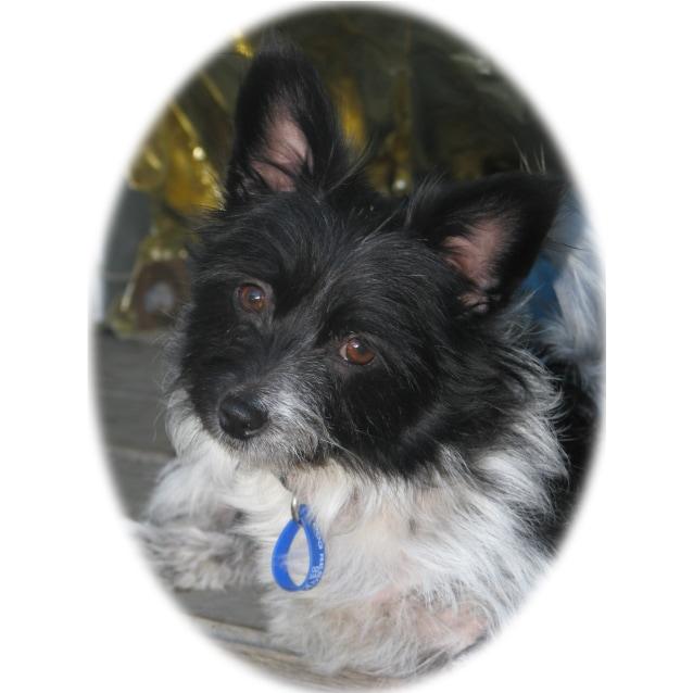 Photo of Gemma ~ 3 Legged Wonder Dog! (On Trial 28/8/13)