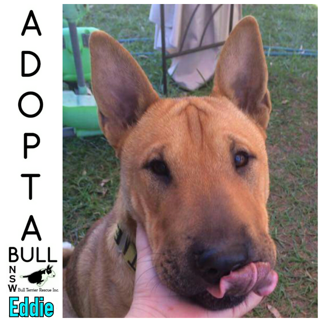 Photo of Adoptabull   Eddison