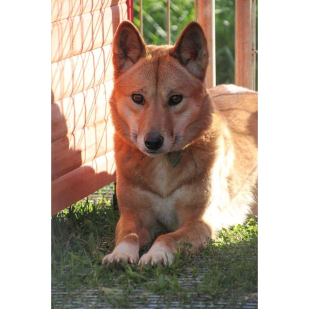 Photo of Sandy Dingo
