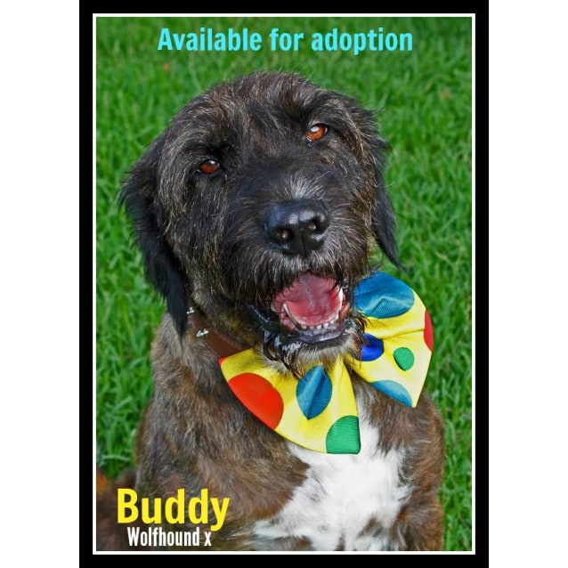Photo of Buddy & Crystal ~ Wolfhound X ~ Mother & Son Pair