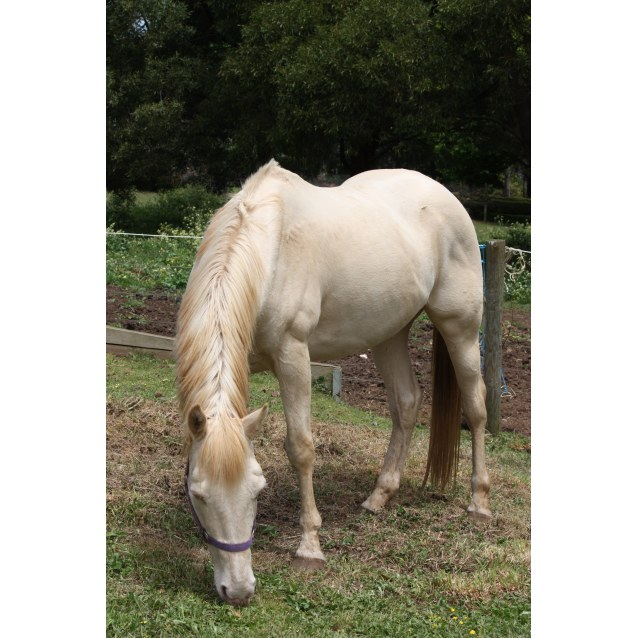 Photo of Sonny   Sweet Companion Horse