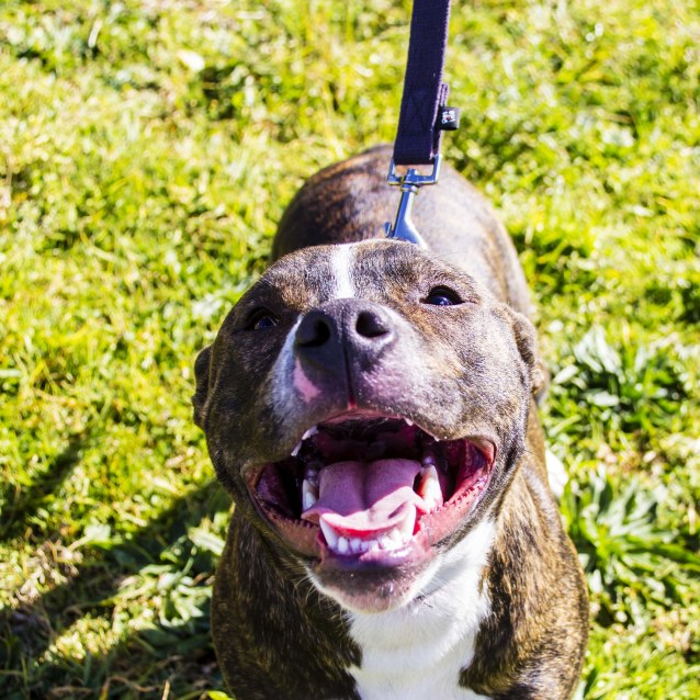 Photo of Lucas ~ Cute Staffy X, Boy (On Trial 26/9/17)