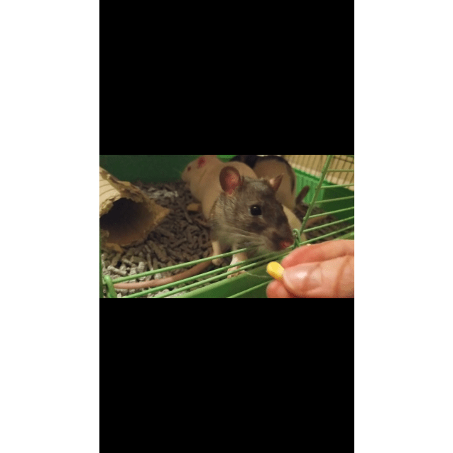 Photo of 3 Young Male Rats
