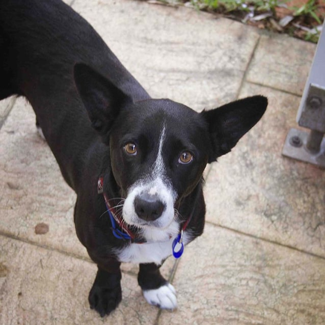 border collie jack russell terrier mix dallas border collie x jr on trial 9 9 17 medium 9590