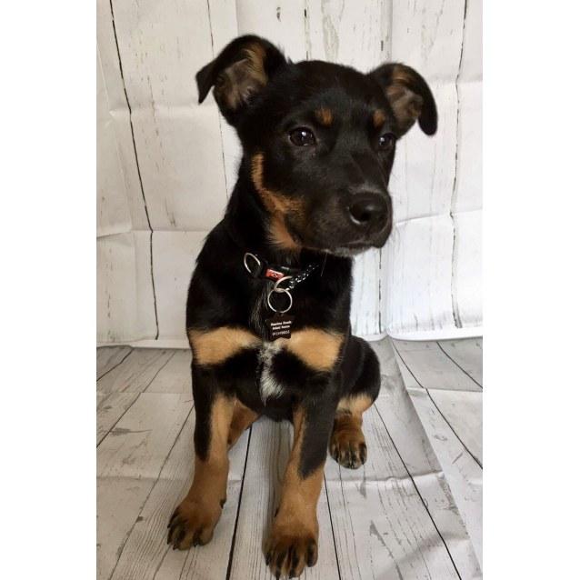 Baby Dogs Medium Female German Shepherd X Kelpie Mix
