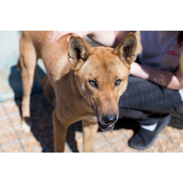Photo of Kuli Dingo