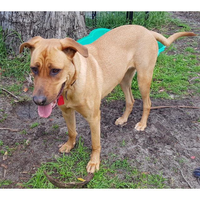 Vienna - Large Female German Shepherd x Rhodesian Ridgeback x