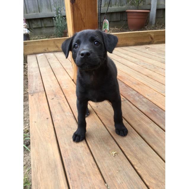 Kelpie x pups - Medium Female Kelpie x Labrador Mix Dog in