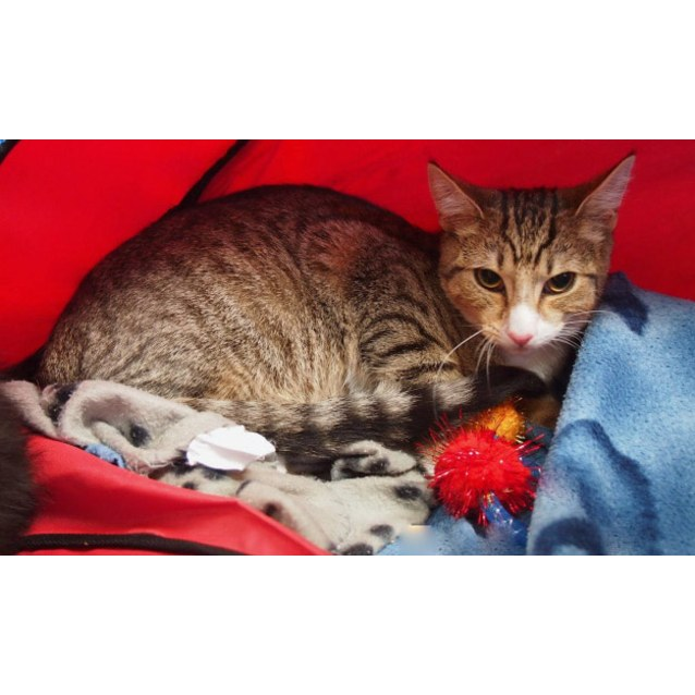 Photo of Teddy **2nd Chance Cat Rescue**