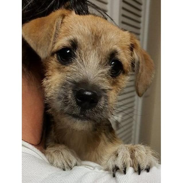 Star Small Female Shih Tzu X Terrier Mix Dog In Vic Petrescue