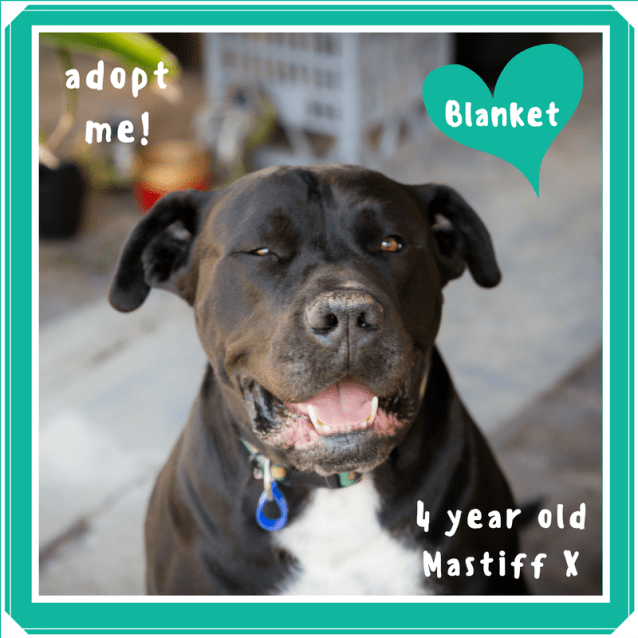 Photo of Blanket ~ Mastiff X (On Trial 22/2/2018)