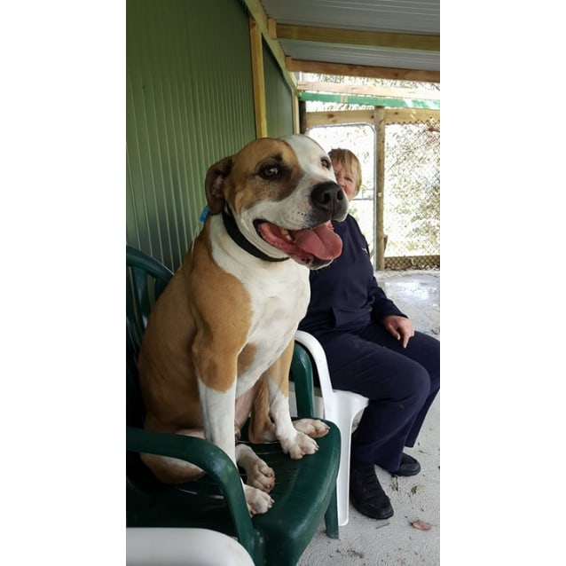 Photo of Bubba   Loveable Boofhead Needing Foster Carer!