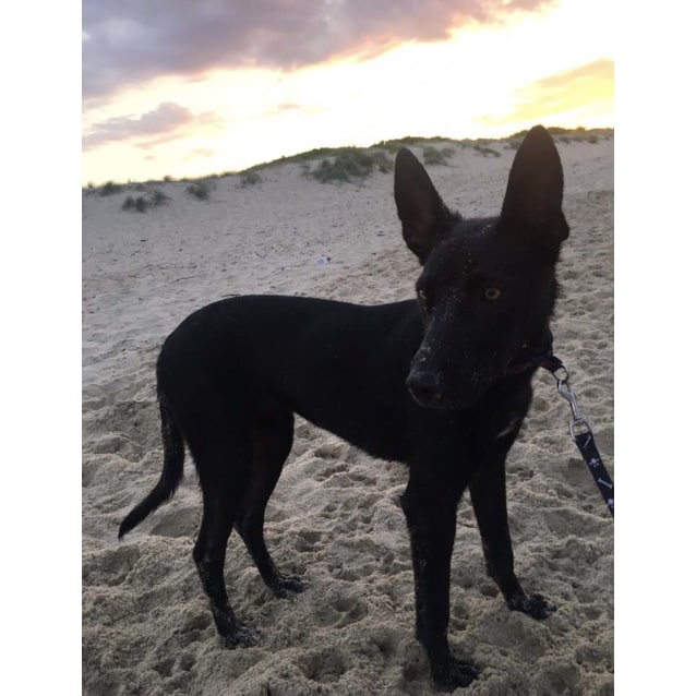 Photo of Bonnie ~ 1.5yo Friendly Kelpie X Girl