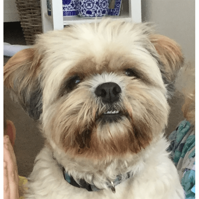 lhasa apso and shih tzu mix ruben small male lhasa apso x shih tzu mix dog in qld 4995
