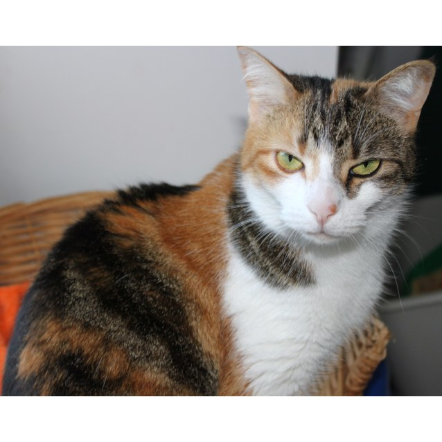 Photo of Swedish Tortie