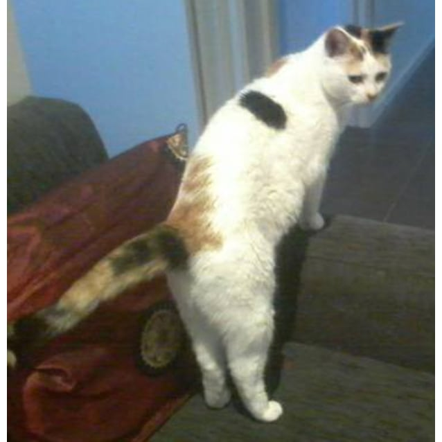 Photo of Hannah The Sassy Saucy Calico Cat!