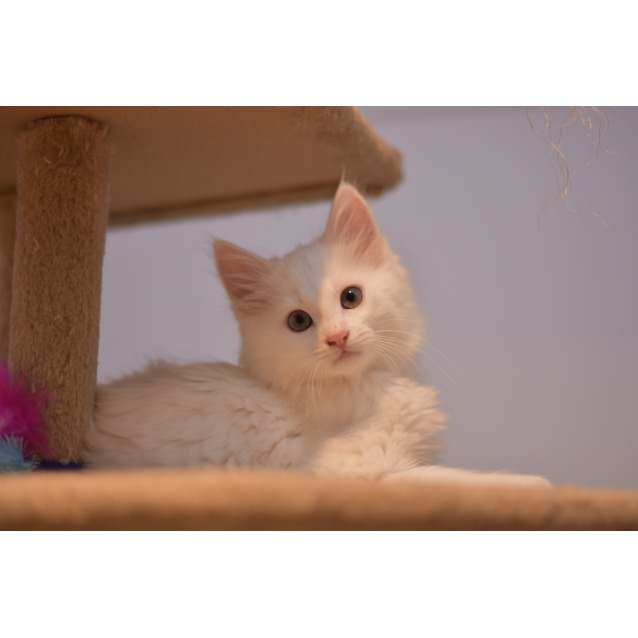 Photo of Falkor  **2nd Chance Cat Rescue**