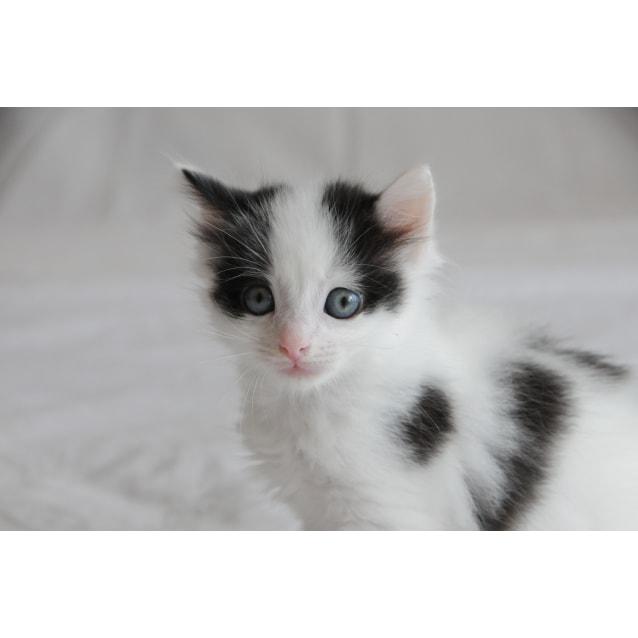 Photo of Athos The Plump Spotty Kitten