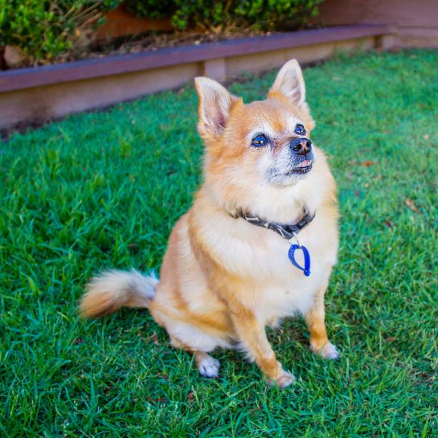 Rosie Pomeranian X Terrier On Trial 1822018 Petrescue
