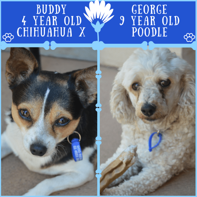 Photo of Buddy & George ~Chi X &Poodle X (On Trial 18/3/18)
