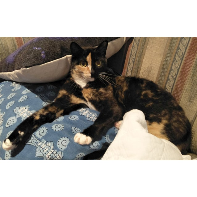 Photo of Harleyquin The Spectacular Tortoiseshell Cat