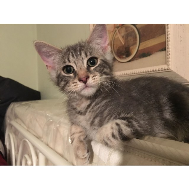 Photo of Baxter **2nd Chance Cat Rescue**