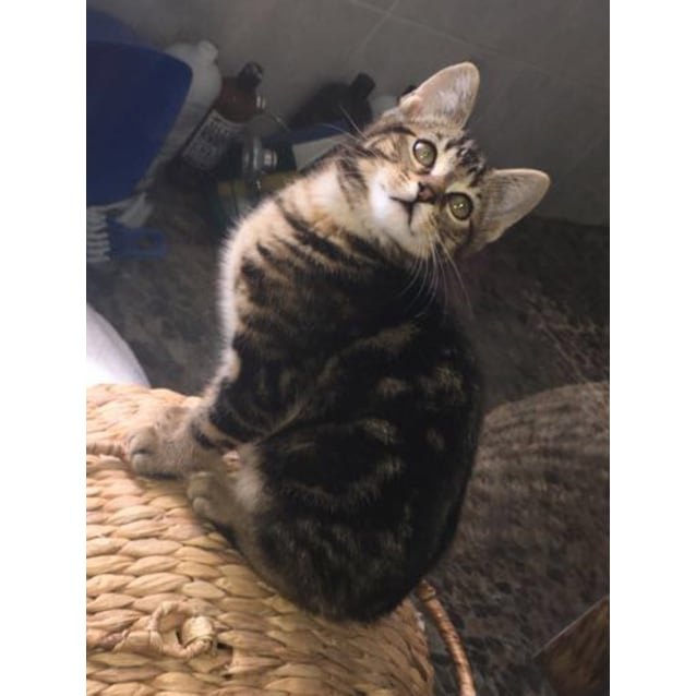 Photo of Snickers The Tabby Tiger Kitten