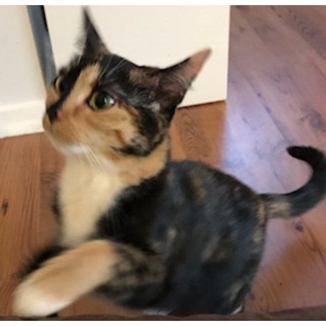 Photo of Chellie **2nd Chance Cat Rescue**