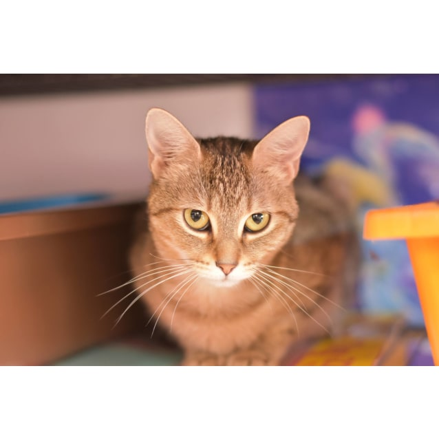 Photo of Yvette **2nd Chance Cat Rescue**