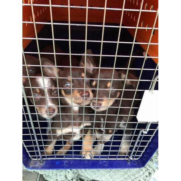 Photo of Kelpie Puppies