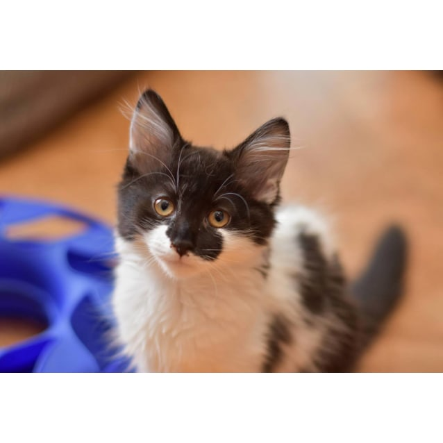 Photo of Daisey ** 2nd Chance Cat Rescue **