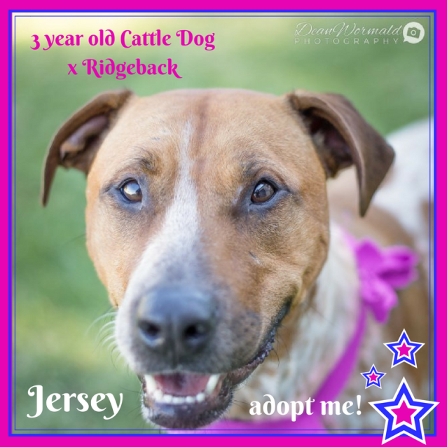 Photo of Jersey ~ Cattle X Ridgeback (On Trial 7/7/18)
