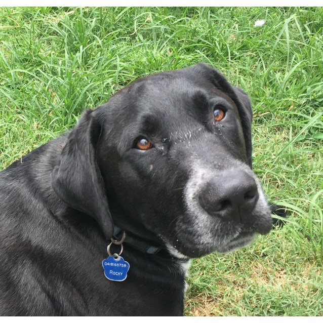 Photo of Rocky ~ Labrador X ~ On Trial 31/3/18