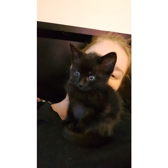 Photo of Ace The Pure Black Ace Kitten!