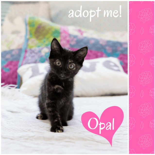 Photo of Opal ~ Kitten (On Trial 7/4/2018)