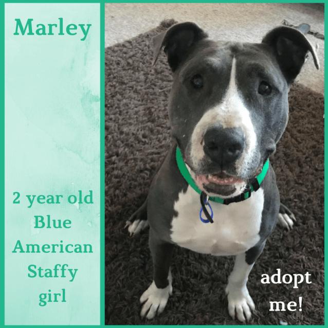 Photo of Marley ~ Blue American Staffy (On Trial 17/2/2018)