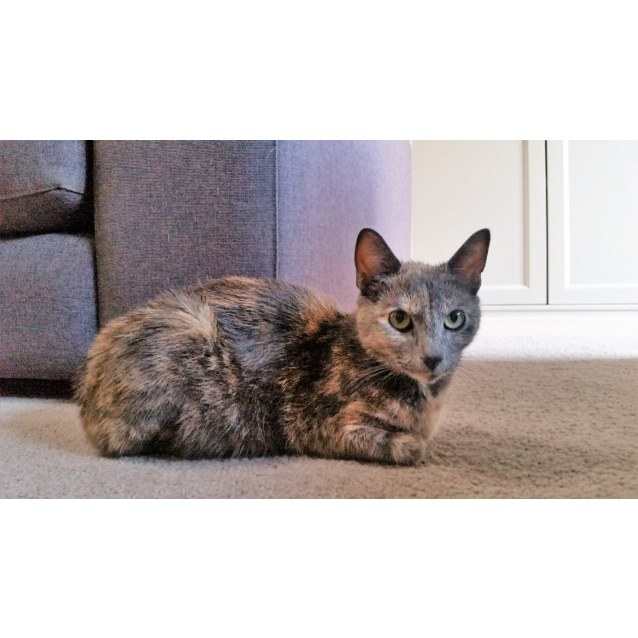 Photo of Mia The Sweet Friendly Grey Tortie Cat