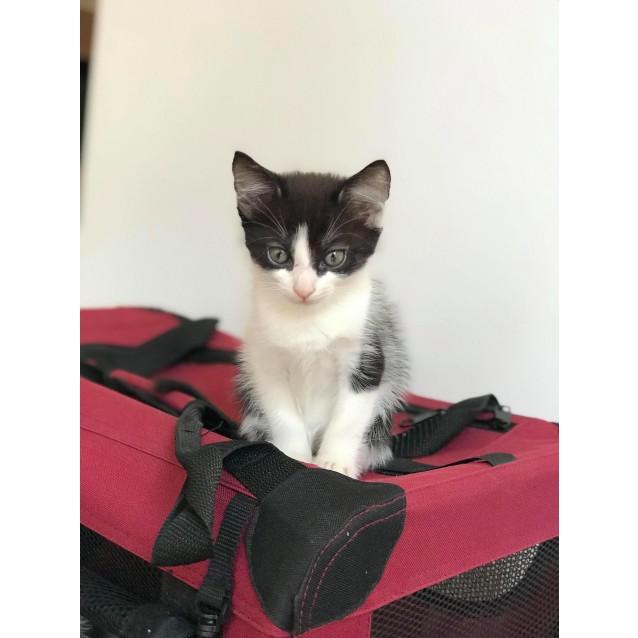 Photo of Jax ~ Kitten (On Trial 17/2/2018)