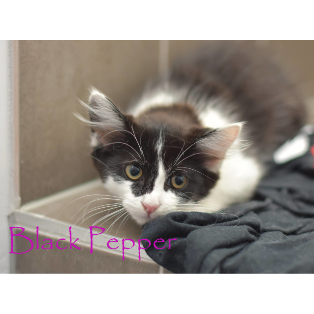 Photo of Black Pepper ***2nd Chance Cat Rescue***