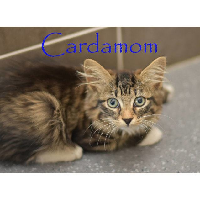Photo of Cardamom  ***2nd Chance Cat Rescue***