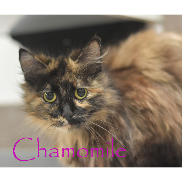 Photo of Chamomile ***2nd Chance Cat Rescue***