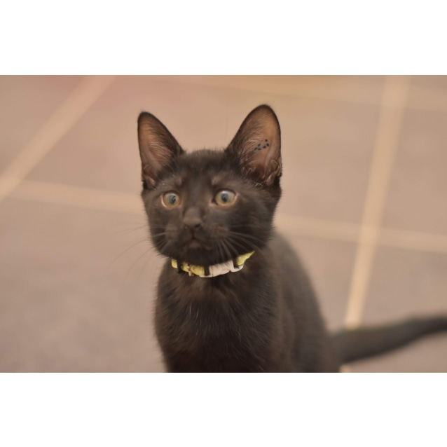 Photo of Nelson **2nd Chance Cat Rescue**