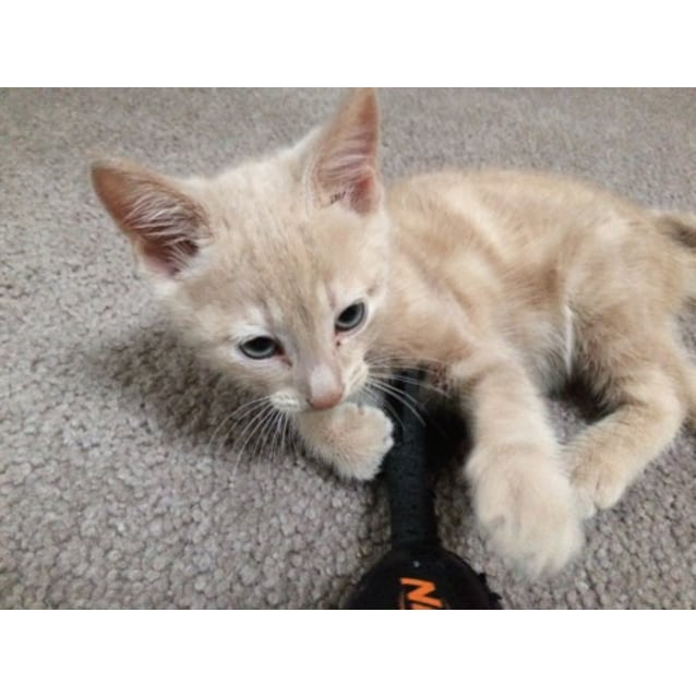 Photo of Benny The Beautiful Champagne Kitten!