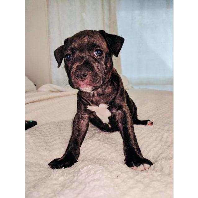 Photo of Clio **Adoption Pending**