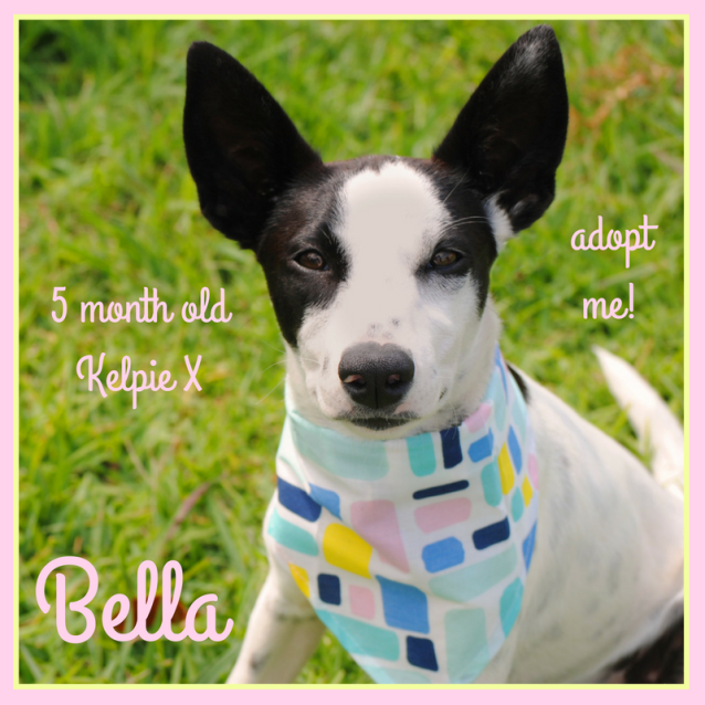 Photo of Bella ~ Kelpie X (On Trial 18/2/2018)