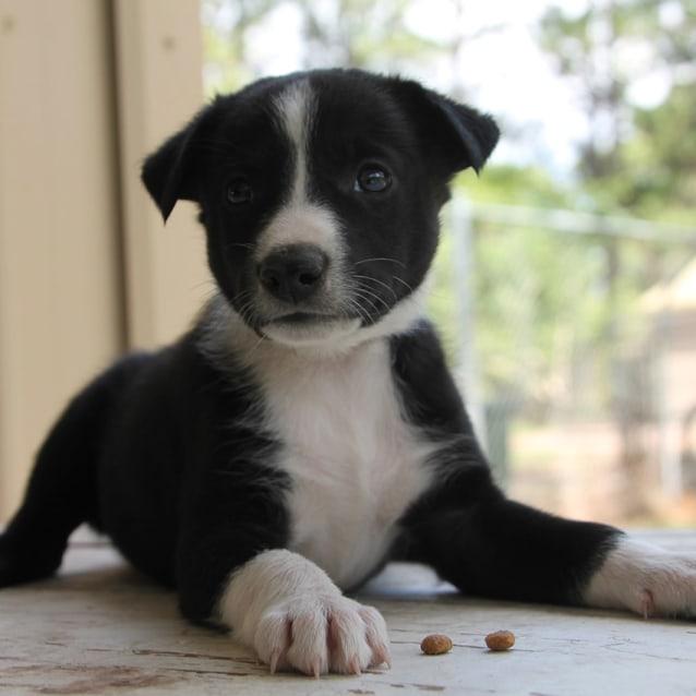 Photo of Chuck ~ Gorgeous Kelpie X Puppy (On Trial 16/2/18)
