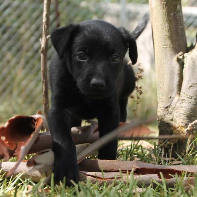 Photo of Stewie ~ Sweet Kelpie X Puppy (On Trial 17/2/18)